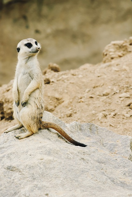 Free meerkat nature zoo animal