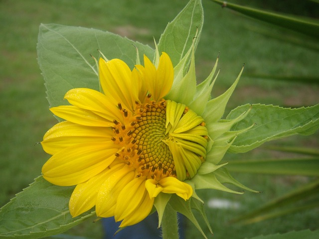 Free flowers growth sunflowers petals hope bud sun