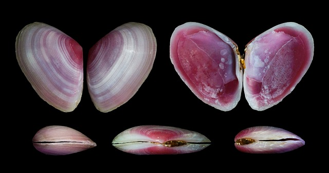 Free eurytellina lineata shells seashells macro close-up