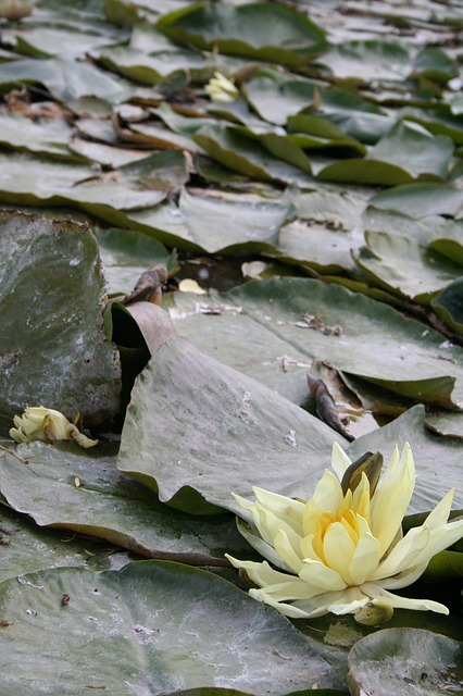Free water lily water lilies aquatic plant flower