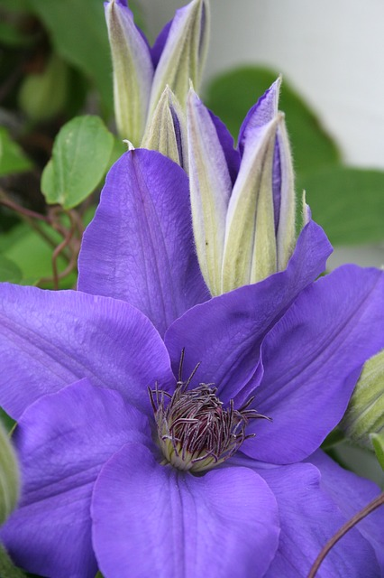 Free clematis flower purple summer
