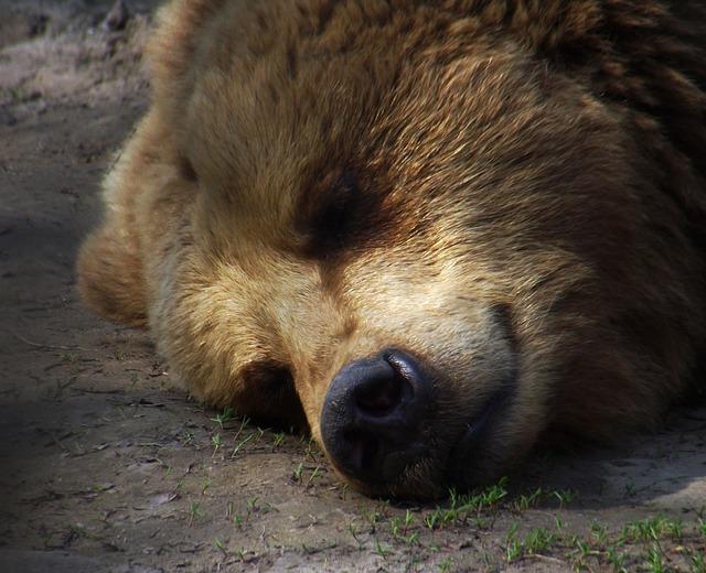 Free bear sleep rest zoo
