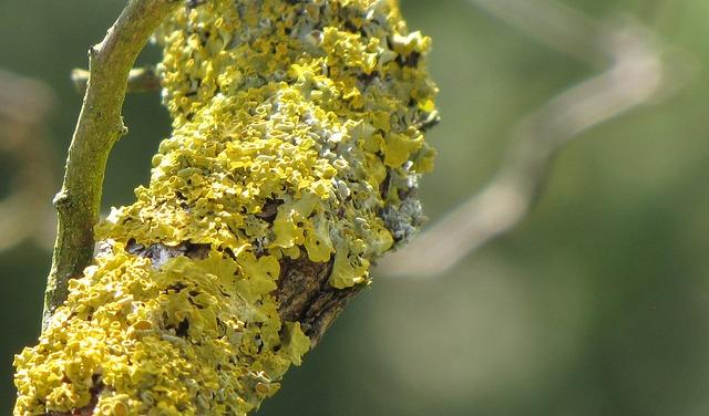 Free lichen yellow tree symbiosis