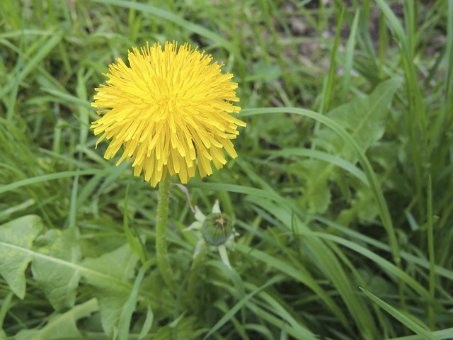 Free flower yellow dandelion plant grass meadow garden