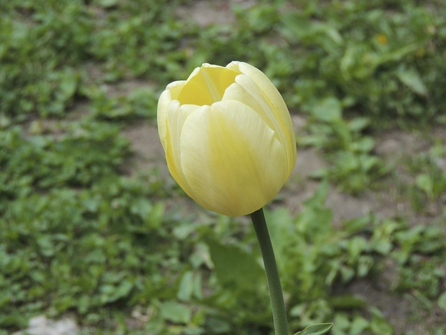 Free tulip white grass meadow cup flower nature