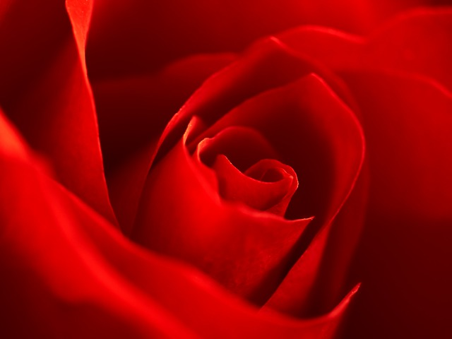 Free rose red macro flower petals blossomed