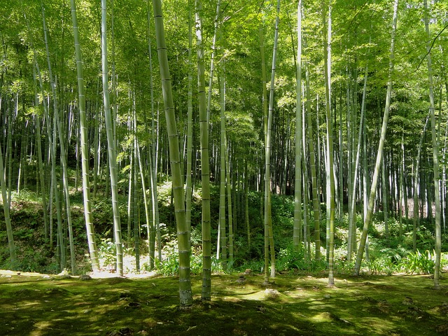 Free kyoto japan bamboo forest trees woods nature