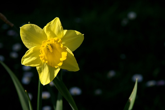 Free nature spring flower flowers narcissus