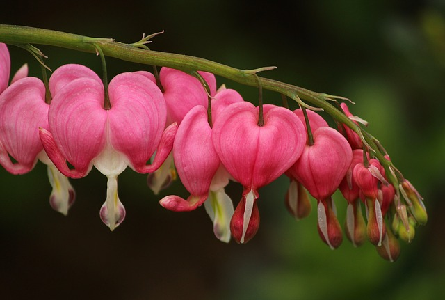 Free bleeding hearts lamprocapnos spectabilis pink flowers