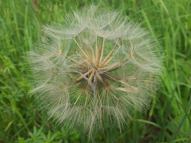Free dandelion green flower