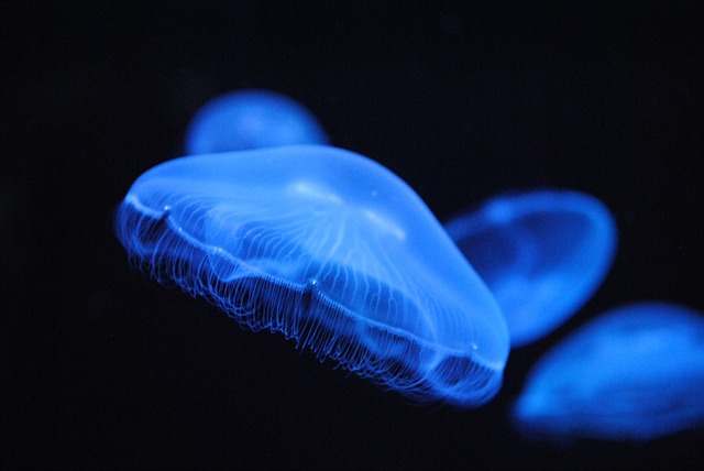 Free animals jellyfish blue jellyfish
