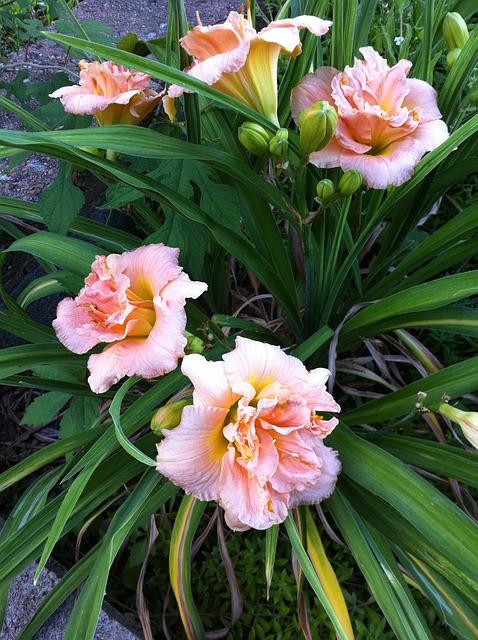 Free flower flowers tiger lilies pink coral orange