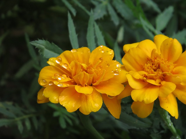 Free flower orange drop