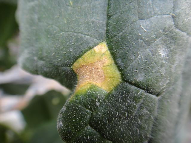 Free cucumber sheet disease