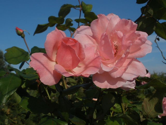 Free roses rose flowers pink