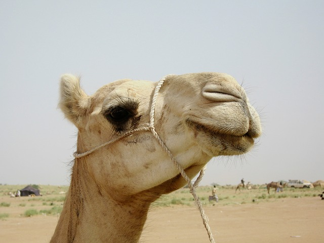 Free Photos: Camel niger nature outside desert animal macro   David Mark