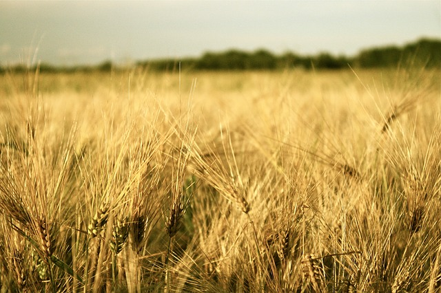 Free field grain plant harvest cereals agriculture hay