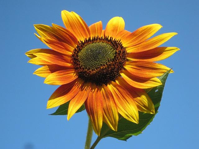 Free               sunflower plant nature outside beautiful macro