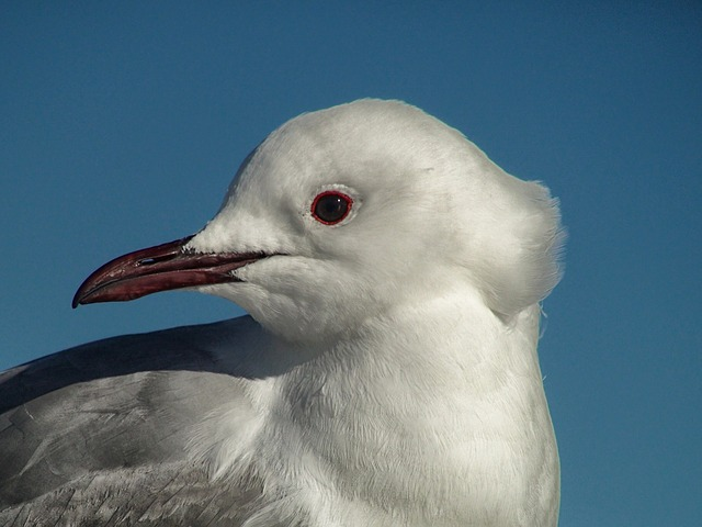 Free south african gull bird nature outside portrait