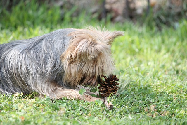 Free haley yorkie terrier dog pet canine