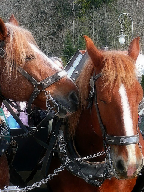 Free horses harness carriage travel animal nature