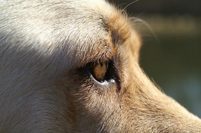 Free dog eye close labrador