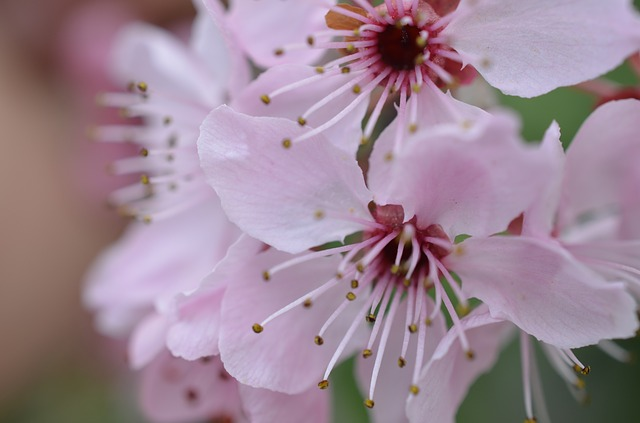Free Photos Japanese Cherry Blossom Spring Flower Pink Pixelanarchy