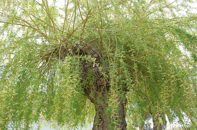 Free Photos: Willow tree green nature | Aquilatin
