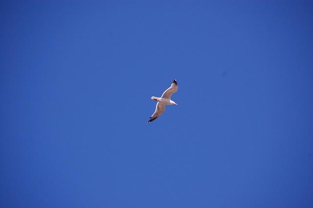Free seagull bird flight sky freedom