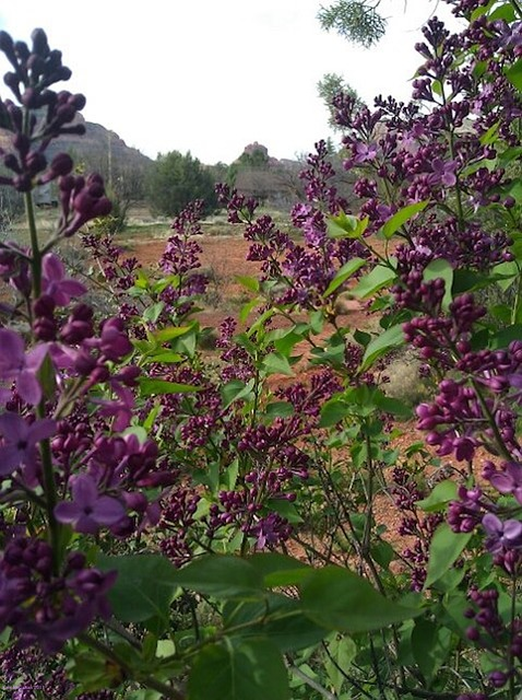 Free lilacs sedona bell rock spring meadow mountains