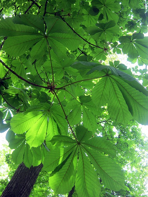 Free forest nature trees chestnut leaves may frisch