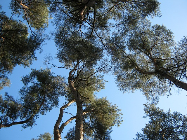 Free forest nature trees crowns perspective view pine