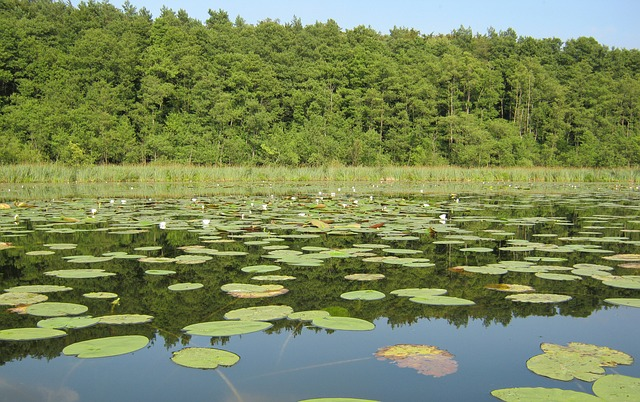 Free müritz see nature nature conservation water nuphar