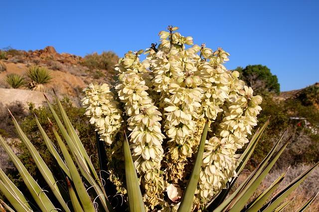 Free joshua tree yucca brevifolia panicle blossom