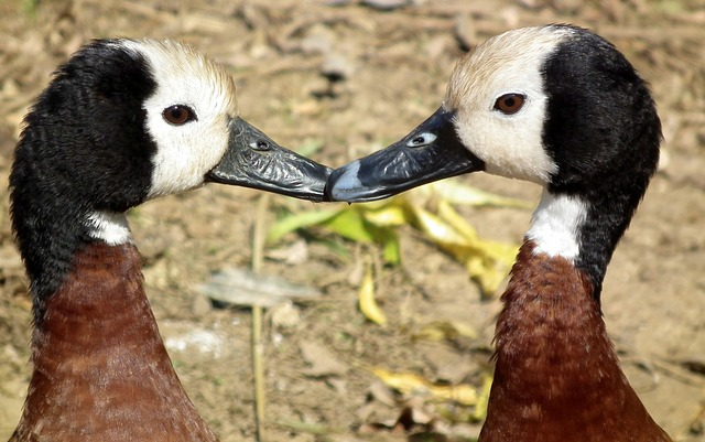 Free white-faced whistling duck