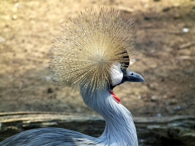 Free crowned crane east african crowned crane bird