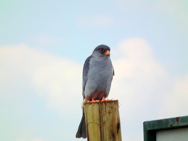 Free amur falcon hawk predator perched hunting