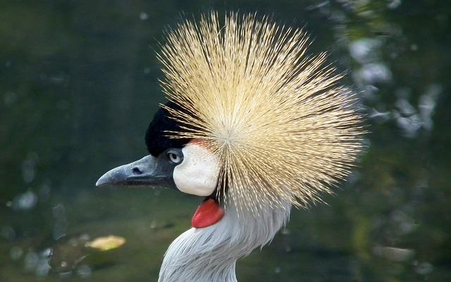 Free crowned crane bird cranes