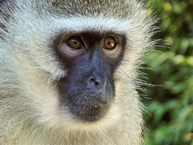 Free               vervet monkey female monkeys animal monkey family