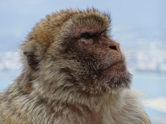 Free monkey barbary ape gibraltar monkey mountain spain