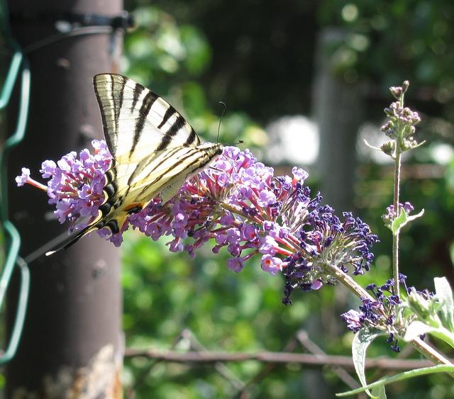Free butterfly butterflies swallow tailed moth