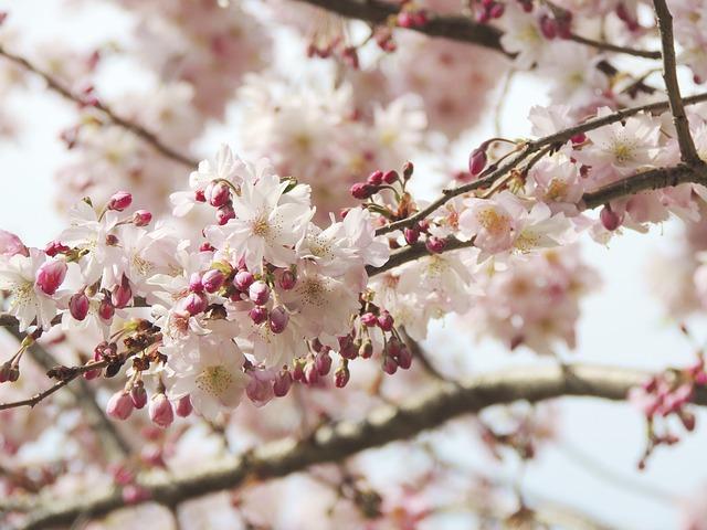 Free flower fruegling pink nature plant bloom
