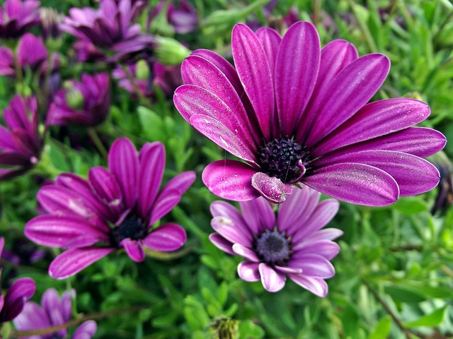 Free flower daisies flowers spring purple nature
