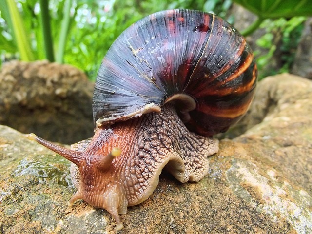 Free snail african south africa giant land gals