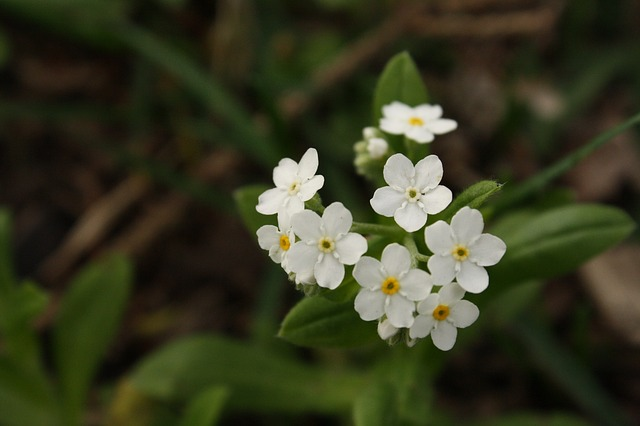 Free flower white small white flower flowers weed