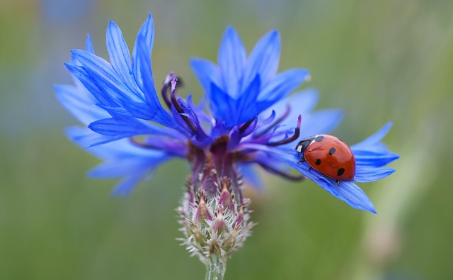 Free                cornflower ladybug siebenpunkt blue red flower