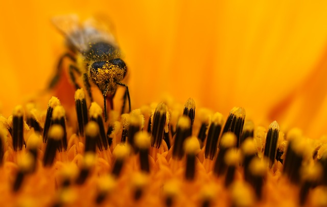 Free bee sun flower macro pollen orange nectar collect