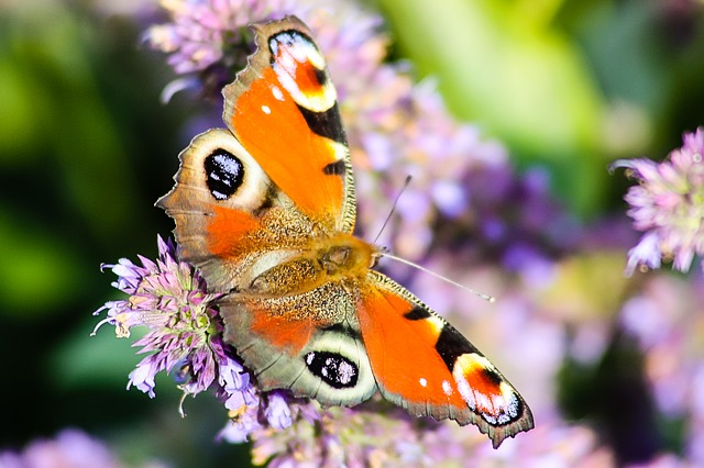 Free butterfly pets nature colorful insect peacock