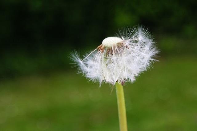 Free dandelion flower flowers