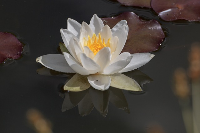 Free water lily aquatic plant water flower